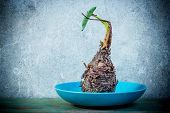 Still Life With Taro Root On Blue Dish
