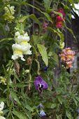 Snap Dragon flowers, UK