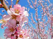 Pink Blossom Cluster