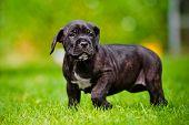 cane corso puppy outdoors