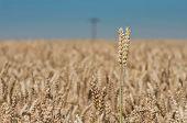 Wheat Ear On The Field