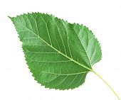 Mulberry leaf on white background isolated