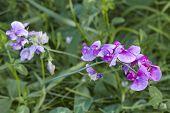 Flora - Pink-colored Vetch
