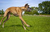 Great Dane loping across field