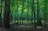 Deciduous Stand Of Bialowieza Forest In Morning