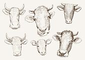 head of cows