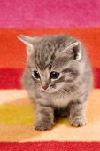 Kitten On Red Rug