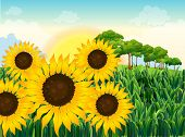 Illustration of the beautiful sunflowers