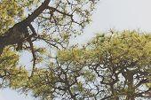 Pine Matsu Tree in japan