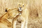 picture of leo  - A lion cub (Panthera leo) with its mother on the Masai Mara National Reserve safari in southwestern Kenya.