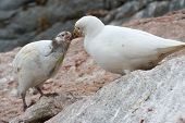 Female Snowy Sheathbill Or Chionis Albus Chicks That Feeds