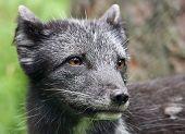 Young Arctic Fox - Vulpes lagopus