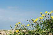 Coastal Flora - Dandelions On Pebble Beach