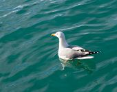 Sea-gull on the water