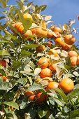 Orange tree - Citrus sinensis