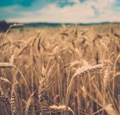 Wheat field on summer day