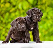 two cane corso puppies