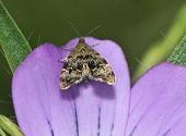 Nettle-tap Micro-moth