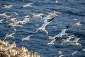 stock photo of gannet  - Northern gannets in flight - JPG