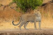 Alert leopard (Panthera pardus), Sabie-Sand nature reserve, South Africa