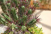 Pincushion Euphorbia - Cactus With Purple Spikes