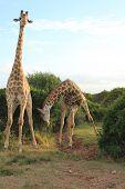 Pair Of Giraffes - Bowing 2