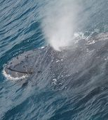 picture of hump  - a Hump back whale blows during surfacing