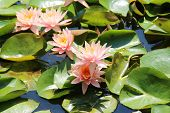 Beautiful lily pond