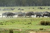 picture of cape buffalo  - Cape Buffalo in Lake Nakuru National Park in Kenya - JPG