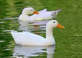White Pekin Duck Long Island ducks Anas platyrhynchos domestica