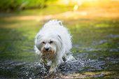 Dog Runs Through The Water