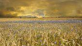 Yellow Wheat Fields