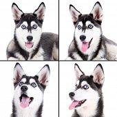 Husky portraits collage