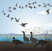 Migrating Geese From Lake Shore