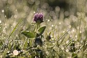 Red Clover With Morning Dew