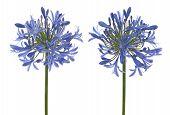 Agapanthus Blooms