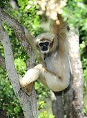 Monkey, White Handed Gibbon Or Lar Gibbon , Thailand