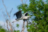 Heron Flying In Forest