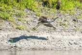 foto of off-shore  - A grey heron takes off from the shore of the river - JPG