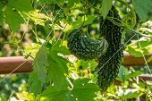 image of bitters  - Bitter gourd plant or bitter cucumber balsam pear on tree - JPG