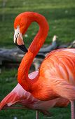 picture of pink flamingos  - Bright pink flamingos in their natural habitat
