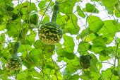 picture of calabash  - Bottle gourd or Calabash in the garden - JPG