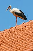 White Stork Standing On Roof