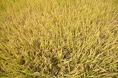 Full Ripen Golden Rice Paddy In Autumn