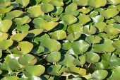 Lotus Leaves In A Pond
