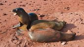 The Galapagos Sea Lions in Rabida's Island