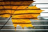 Dry Maple leaf on the jalousie window background