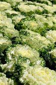 Ornamental Leaved Kale (brassica Oleracea)