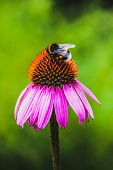 Bee gather nectar on Echinacea flower