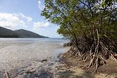 Mangrove trees on the beach of Cape Tribulation, Queensland,Australia